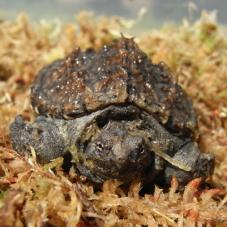 Common Snapping Turtle (Chelydra serpentine)
