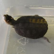 African Helmeted Turtle (Pelomedusa subrufa subrufa)