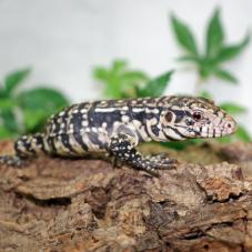 Argentine Black and White Tegu (Tupinambis merianae)