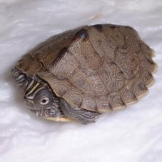 Mississippi Map Turtle (Graptemys pseudogeographica)