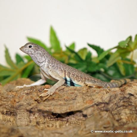 Zebra Tail Lizard