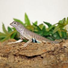 Zebra Tail Lizard (Callisaurus draconoides)