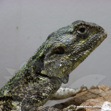 Black Necked Tree Agama