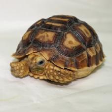 Sulcata Tortoise (Geochelone sulcata)