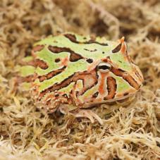 Fantasy Horned Frog (Ceratophrys cranwelli x ornata)
