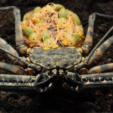 Tail-less Whip Scorpion