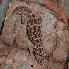 Viper Gecko (Teratolepsis fasciata)