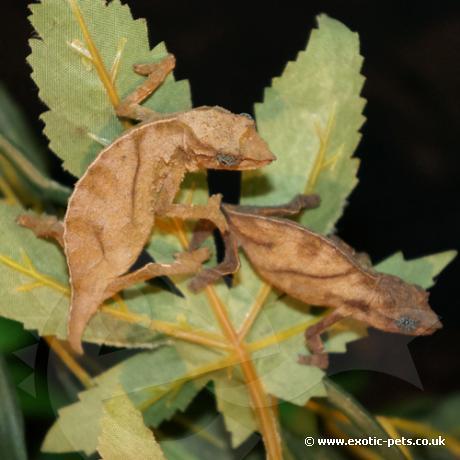 Pitless Pygmy Chameleon