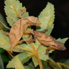 Pitless Pygmy Chameleon (Rhampholeon nchisiensis)