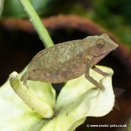 Bearded Pygmy Chameleon