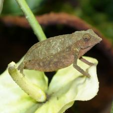 Bearded Pygmy Chameleon (Rhampholeon brevicaudatus)
