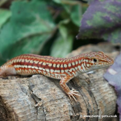 Southern Long Tailed Lizard