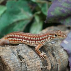 Southern Long Tailed Lizard (Latastia longicaudata)