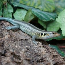 Rainbow Skink (Mabuya margaritifer)