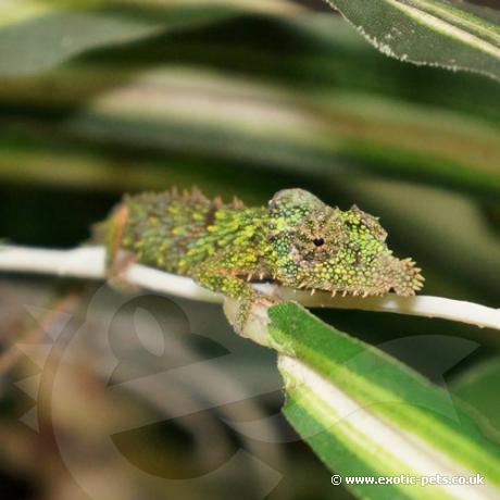 Rosette Nosed Pygmy Chameleon