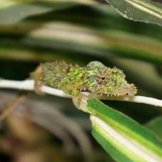 Rosette Nosed Pygmy Chameleon (Rhampholeon spinosum)