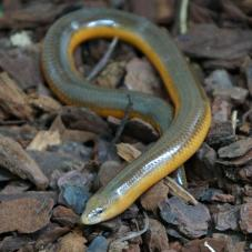 Percivals Legless Skink (Acontias percivali)