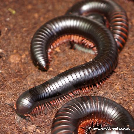 African Giant Black Millipedes