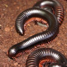African Giant Black Millipedes (Archispirostreptus gigas)