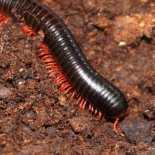 Red-legged Millipede (Ephibolus pulchripes)