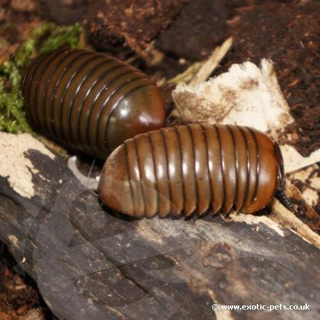 Green Thai Pill Bug