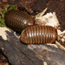 Green Thai Pill Bug (Sphaerotheriida sp. )