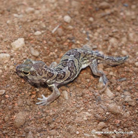 African Clawed Gecko
