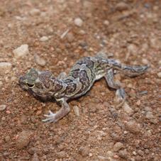 African Clawed Gecko (Holodactylus africanus)