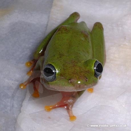 African Reed Frogs