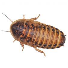 Dubia Cockroaches (Blaptica dubia)