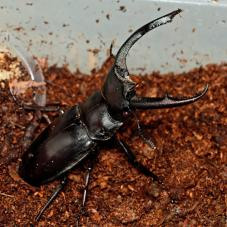 Stag Beetles (Various)