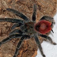 Flame Rump Tree Spider (Thrixopelma ockerti)