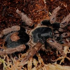 Peruvian Dwarf Beauty (Cyriocosmus bertae)