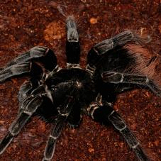 Steely Blue Birdeater (Pamphobeteus antinous )