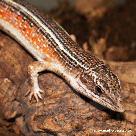 Black Lined Plated Lizard