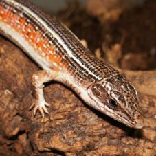 Black Lined Plated Lizard (Gerrhosaurus nigrolineatus)