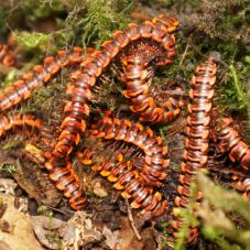 Thai Red Flat Millipede (Orthomorpha sp