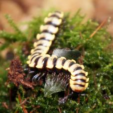 Thai White Flat Millipede (Orthomorpha sp
