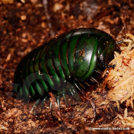 Madagascan Giant Emerald Pill Bugs Zoosphaerium Neptunus