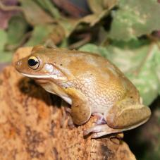 White Lipped Tree Frog (Litoria infrafrenata)