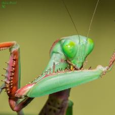 Giant Rainforest Mantis (Hierodula majuscula)
