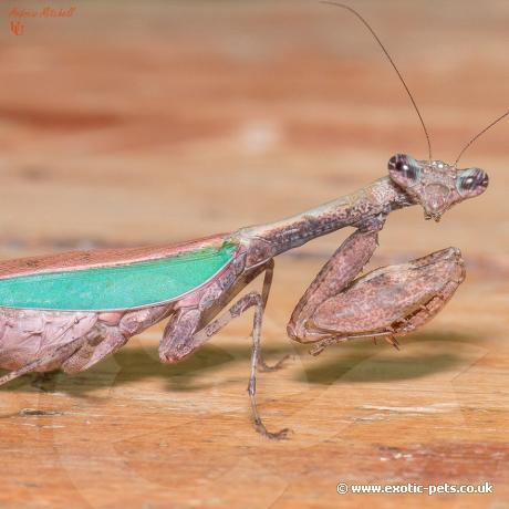 Japanese Boxer Mantis