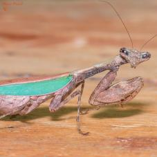 Japanese Boxer Mantis (Acromantis japonica)