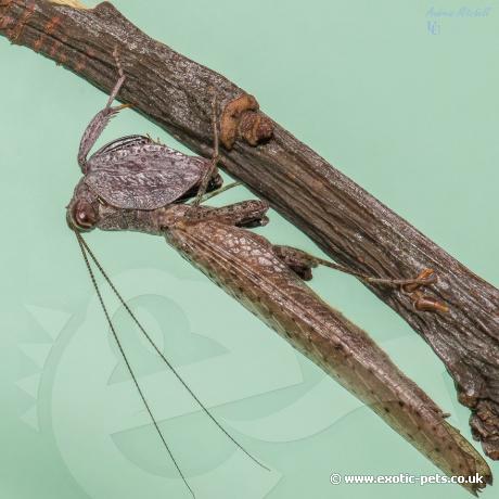 Chinese Boxer Mantis
