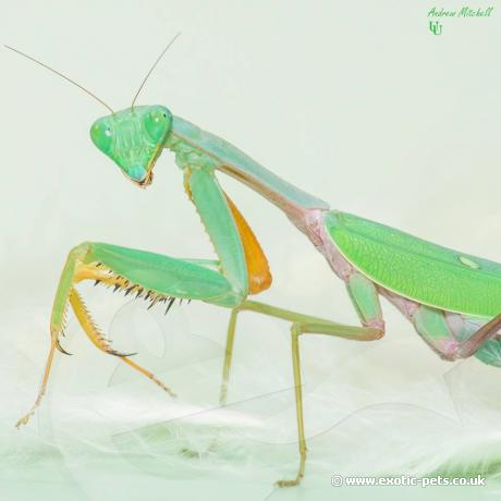 Malaysian Blue Mantis