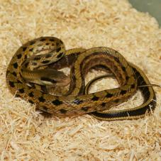 Taiwanese Beauty Snake (Orthriophis taeniurus)