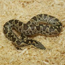 Rough Scaled Sand Boa (Eryx conicus)