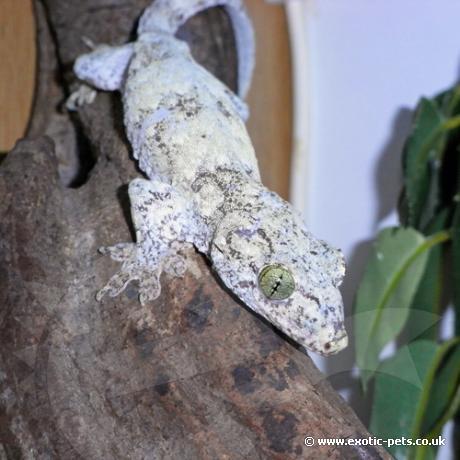 Halmahera Giant Gecko