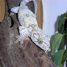Halmahera Giant Gecko (Gehyra vorex)