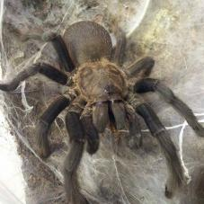 Lavender Earth Tiger (Chilobrachys sp.